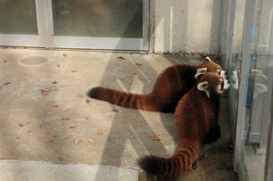 2匹のレッサーパンダの写真素材 [FYI04044111]