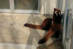 2匹のレッサーパンダ 一頭は立ち上がっているの写真素材 [FYI04044112]