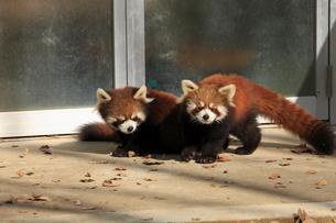 2匹のレッサーパンダの写真素材 [FYI04044116]