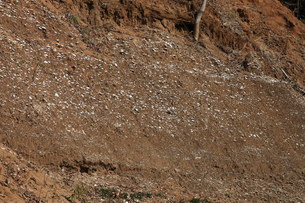 木下貝層 貝が表面に露出している様子 十二万年前の地層 貝化の写真素材 [FYI04044141]