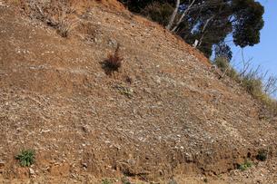 木下貝層 貝が表面に露出している様子 十二万年前の地層 貝化の写真素材 [FYI04044144]
