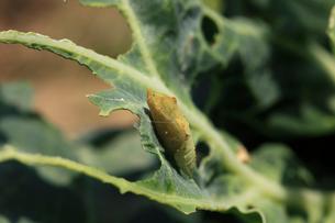 キャベツの葉に付くモンシロチョウの蛹の写真素材 [FYI04044314]