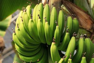 バナナ 温室でたわわに実るの写真素材 [FYI04044398]