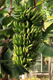 バナナ 温室でたわわに実るの写真素材 [FYI04044399]