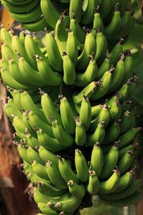 バナナ 温室でたわわに実るの写真素材 [FYI04044404]