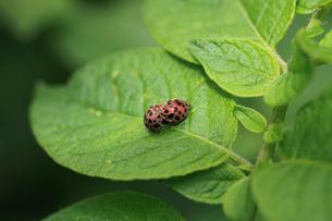 ニジュウヤホシテントウ ジャガイモの葉の上で交尾の準備中の写真素材 [FYI04044499]