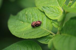 ニジュウヤホシテントウ ジャガイモの葉の上で交尾の準備中の写真素材 [FYI04044503]