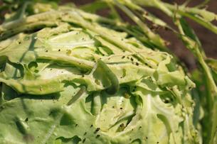 キャベツの葉を食い荒らすモンシロチョウの幼虫の写真素材 [FYI04044537]