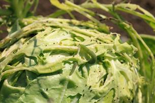 キャベツの葉を食い荒らすモンシロチョウの幼虫の写真素材 [FYI04044539]