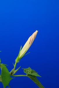 アサガオ 開花の連続写真 2 (1:42:38 AM)の写真素材 [FYI04044806]