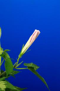 アサガオ 開花の連続写真 5 (3:14:33 AM)の写真素材 [FYI04044816]