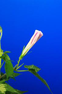 アサガオ 開花の連続写真 6 (3:23:39 AM)の写真素材 [FYI04044821]