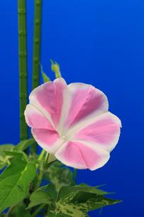 アサガオ 開花の連続写真 15 (4:07:38 AM) 完の写真素材 [FYI04044823]