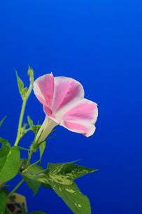 アサガオ 開花の連続写真 13 (4:00:19 AM)の写真素材 [FYI04044825]
