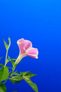 アサガオ 開花の連続写真 12 (3:57:46 AM)の写真素材 [FYI04044826]