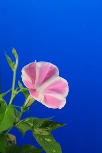 アサガオ 開花の連続写真 14 (4:04:20 AM)の写真素材 [FYI04044827]