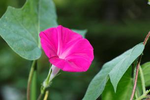 アサガオ 完全に開いた花 (5:37:13 AM)の写真素材 [FYI04044859]