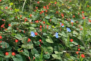 アメリカアサガオ 赤い花はマルバルコウソウ 放棄畑にはびこっの写真素材 [FYI04044925]