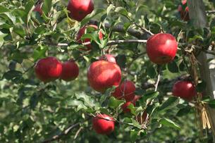 リンゴ 品種:しなのスイートの写真素材 [FYI04045050]