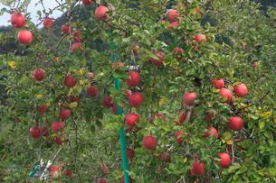 リンゴ 品種:ふじの写真素材 [FYI04045059]