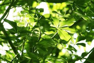 ブラジルの新緑の写真素材 [FYI04045159]