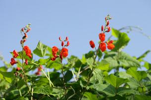 ベニバナインゲンの花の写真素材 [FYI04045357]