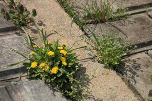 セイヨウタンポポ 堤防のブロックの隙間から咲いていた 右はノの写真素材 [FYI04045637]