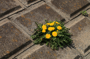 セイヨウタンポポ 堤防のブロックの隙間から咲いていたの写真素材 [FYI04045640]