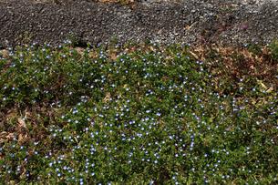 オオイヌノフグリ 住宅地のアスフアルトの脇で咲いていたの写真素材 [FYI04045677]