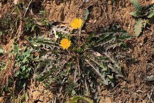カントウタンポポ 広げた根生葉と全体の様子の写真素材 [FYI04045687]