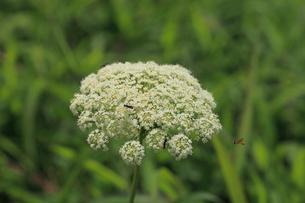ニンジンの花 飛んでいる昆虫はヒラタアブの写真素材 [FYI04046059]
