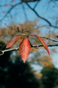 サクラの葉 紅葉の写真素材 [FYI04046094]