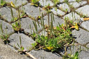 ブロックの隙間から咲くツボミオオバコの写真素材 [FYI04046099]