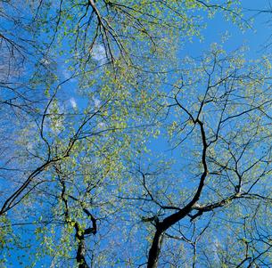 コナラの芽吹き 春の写真素材 [FYI04046103]