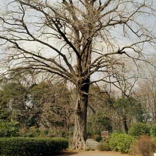 冬のイチョウ 精子発見の木の写真素材 [FYI04046104]