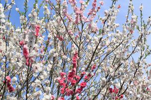 ハナモモ 花の写真素材 [FYI04046123]