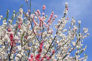 ハナモモ 花の写真素材 [FYI04046124]