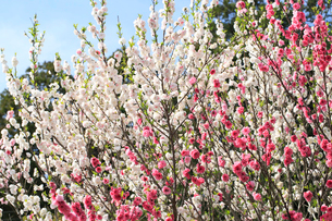 ハナモモ 花の写真素材 [FYI04046125]