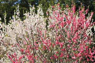ハナモモ 花の写真素材 [FYI04046126]