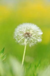 セイヨウタンポポの冠毛の写真素材 [FYI04046136]