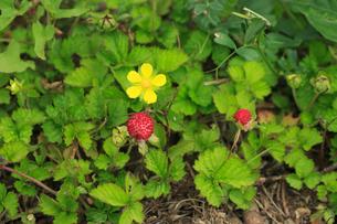 ヘビイチゴ 花と実の写真素材 [FYI04046171]