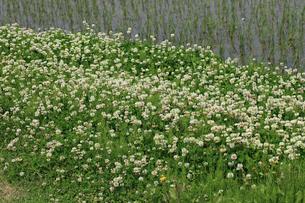シロツメクサ 花の写真素材 [FYI04046212]