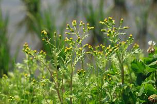 ノボロギク 花の写真素材 [FYI04046215]