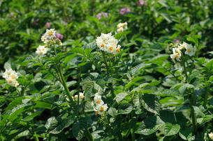 ジャガイモの花の写真素材 [FYI04046216]