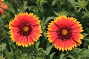 ルドベキア 花の写真素材 [FYI04046223]