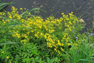 オヘビイチゴ 花の写真素材 [FYI04046359]