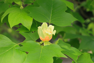 ユリノキの花の写真素材 [FYI04046360]