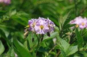 ジャガイモの花の写真素材 [FYI04046387]