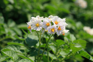 ジャガイモ の花の写真素材 [FYI04046393]
