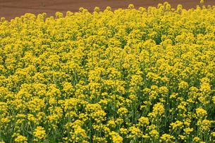 コマツナの花の写真素材 [FYI04046416]